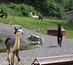All Llamas